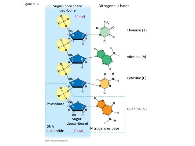 thymine nucleotide structure