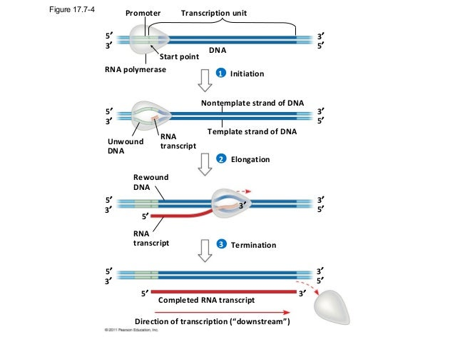 how to translate dna to mrna 5& 39