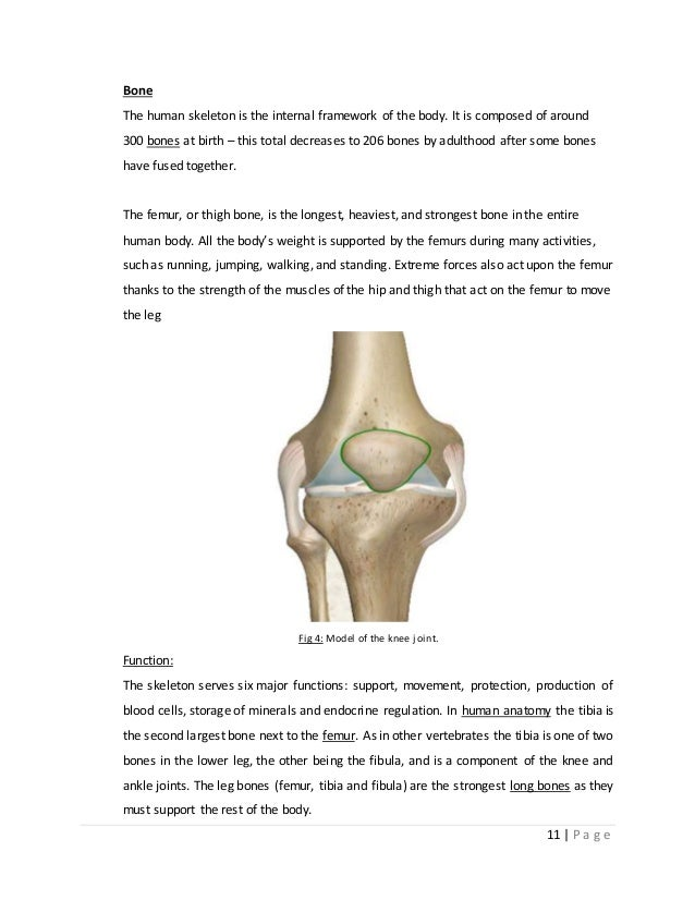 desgin and analysis of human knee cartilage, Skeleton