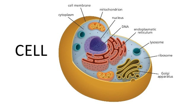 Cell's Structure: ER and Golgi Bodies