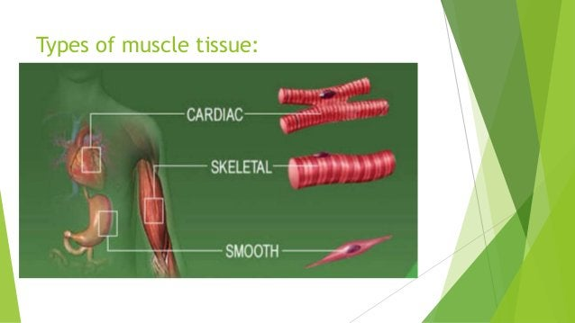 MUSCLE CONTRACTIONS ~> Is the movement of muscle fibers in response to force or load.  CONCENTRIC > the muscle shortens i...