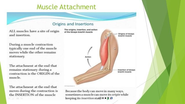  CRAMPS > are painful, spastic contractions of muscle that are usually the result of an irritation within a muscle.  FIB...