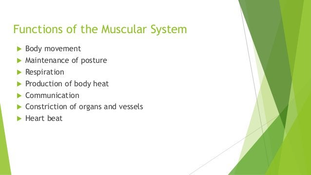 Functions of the Muscular System  Body movement  Maintenance of posture  Respiration  Production of body heat  Commun...