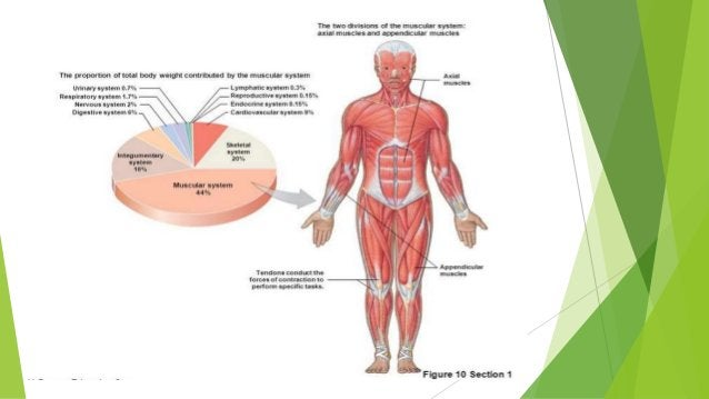 DIVISIONS OF MUSCLES Appendicular muscles • Control the movements of the upper and lower limbs, and stabilize and control ...