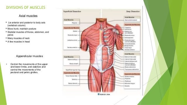 Types of muscle tissue: