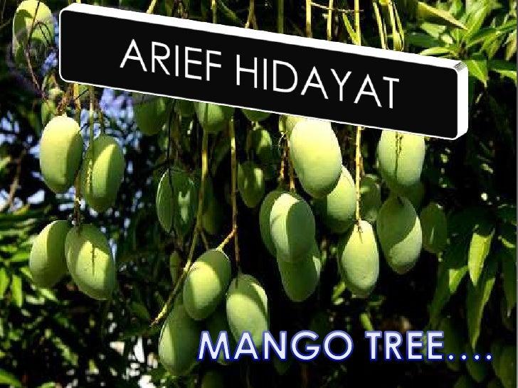MANGO TREE….<br />