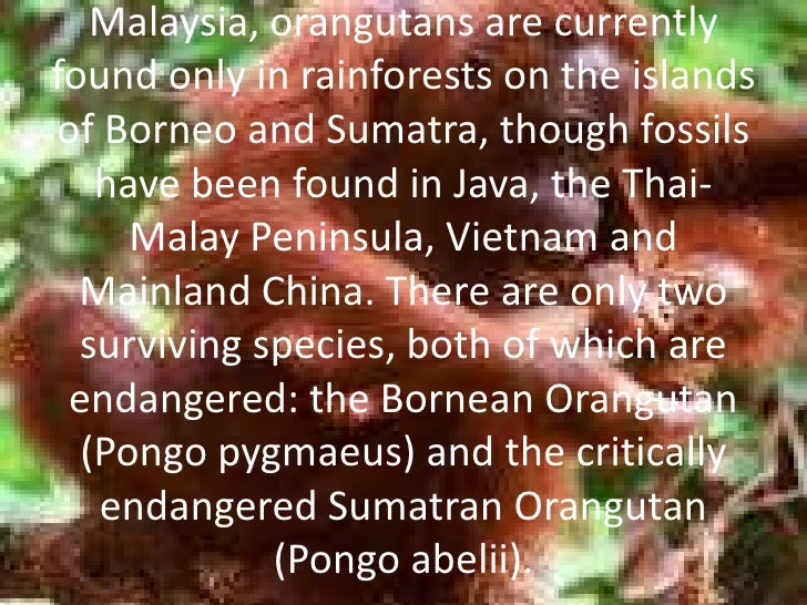 Native to Indonesia and Malaysia, orangutans are currently found only in rainforests on the islands of Borneo and Sumatra,...