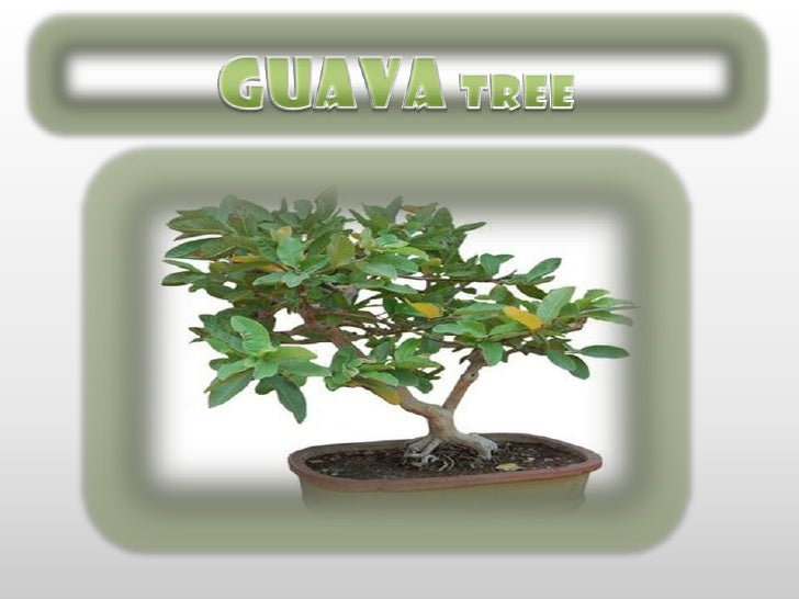 GUAVATREE<br />