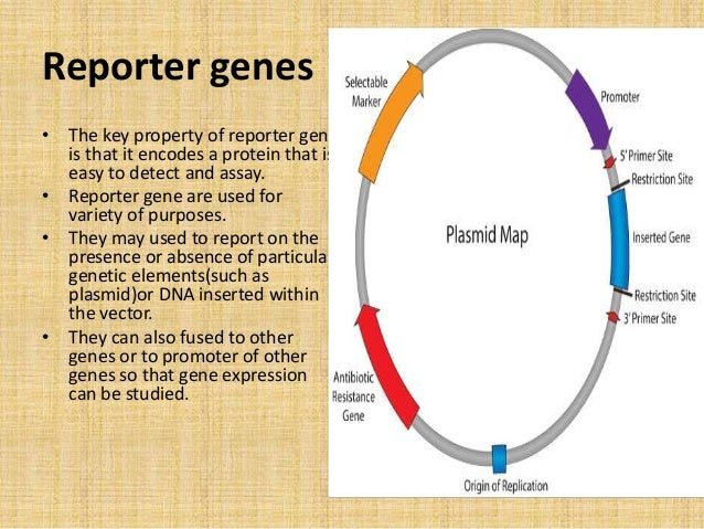 reporter gene and gene fusions t y bsc