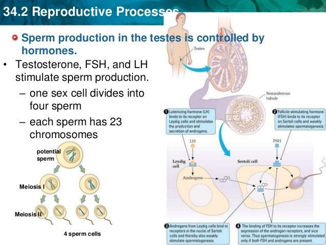 Sperm and hormones