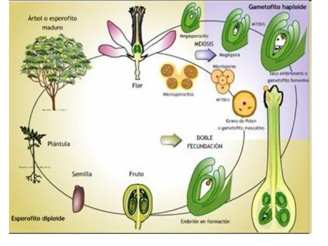 Caracteristicas sexual y asexual de las plantas