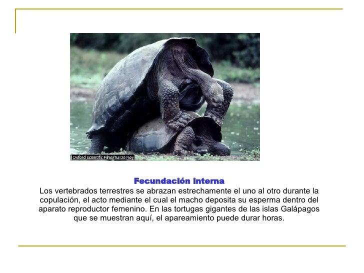 Fecundación interna Los vertebrados terrestres se abrazan estrechamente el uno al otro durante la copulación, el acto medi...
