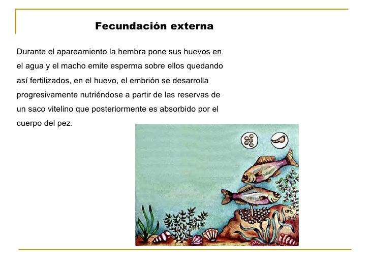 Fecundación externa Durante el apareamiento la hembra pone sus huevos en  el agua y el macho emite esperma sobre ellos que...