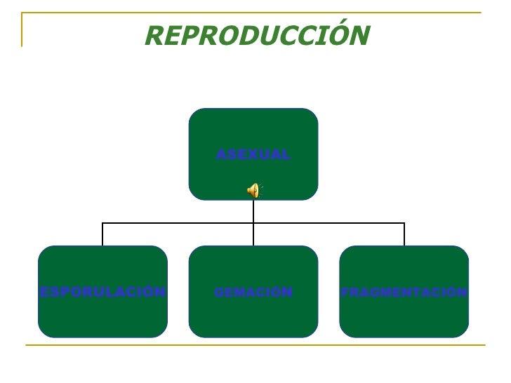 REPRODUCCIÓN ASEXUAL ESPORULACIÓN GEMACIÓ N FRAGMENTACIÓN