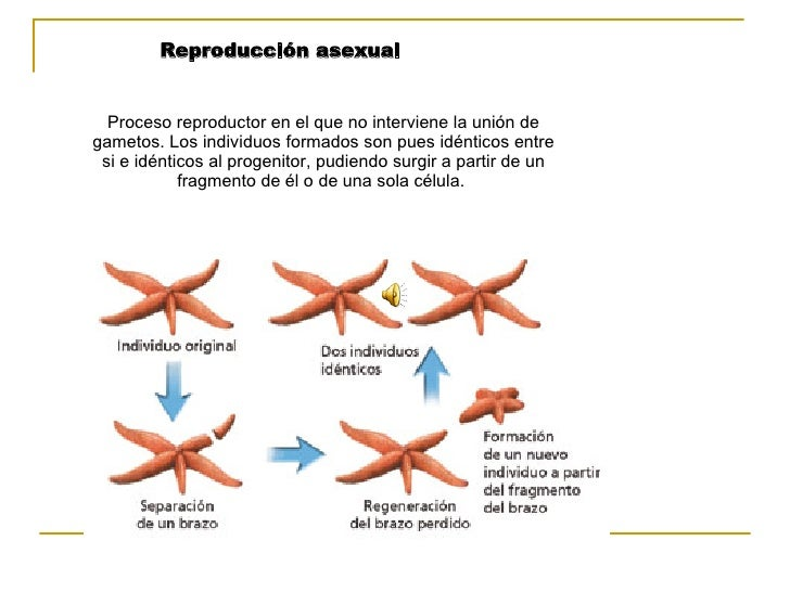 Proceso reproductor en el que no interviene la unión de gametos. Los individuos formados son pues idénticos entre si e idé...
