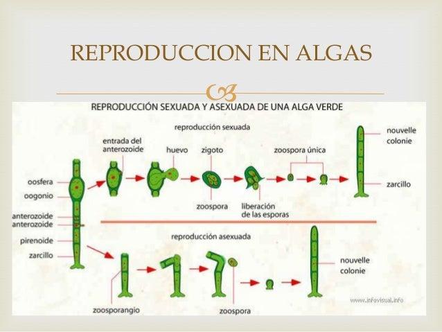 Algas verdes reproduccion asexual en