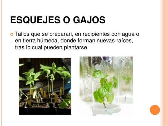 Reproducci n asexual de las plantas for Planta ornamental que se reproduzca por esquejes