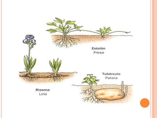 Propagacion de plantas asexual reproduction