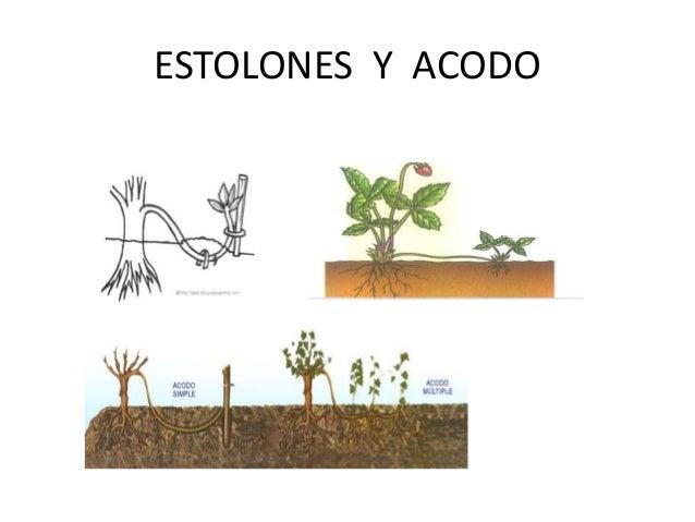 Reproduccion asexual en plantas estacas del