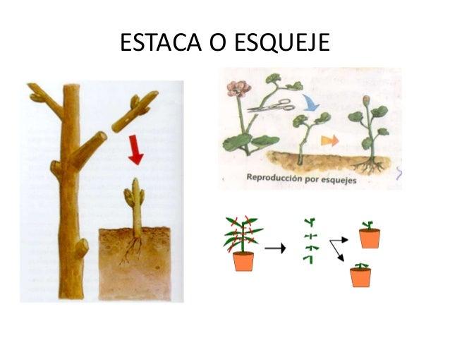 Estaca reproduccion asexual plantas de jardin