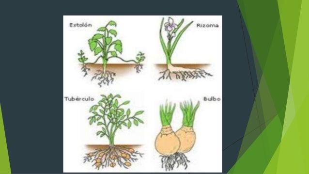 Reproduccion asexual en plantas estolones de grama