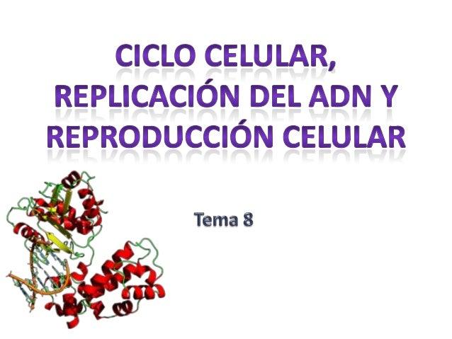Índice: • •  • • • • • •  • •  El ciclo celular Interfase • Fase G1 • Fase S • Fase G2 Control del ciclo celular Replicaci...