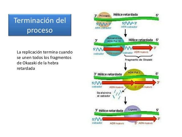 Ciclo celular, Replicación del ADN y Reproducción celular. Tema 8