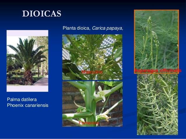 Palma yucca decipiens reproduccion asexual