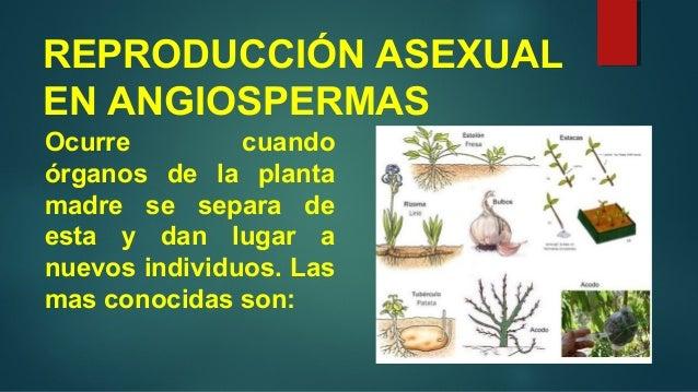 Reproduccion asexual en plantas gimnospermas