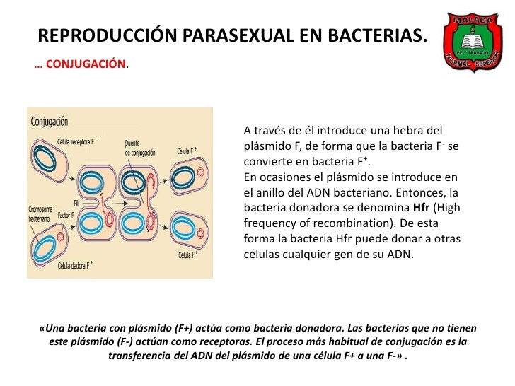 Reproduccion bacteriana asexual