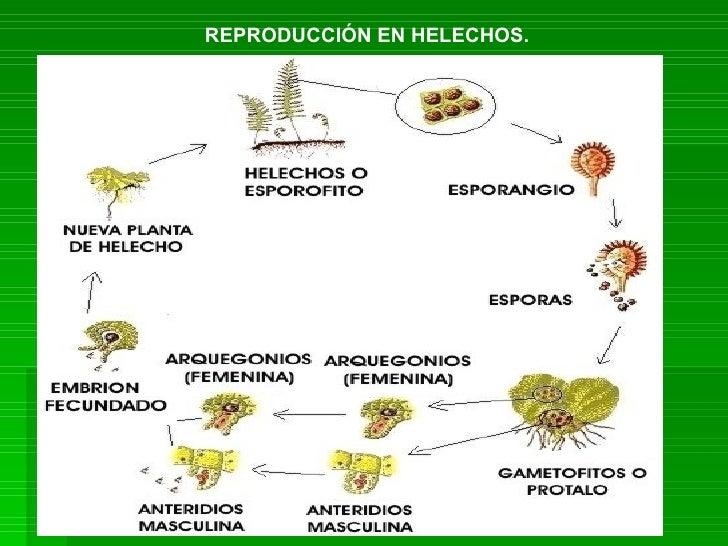 Reproducci n en las plantas - Cuidados de los helechos ...
