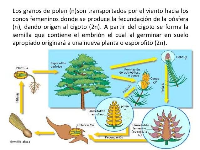 Reproducci n en plantas con semilla for Como se forma y desarrolla el suelo
