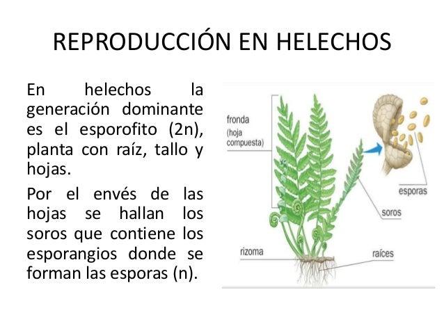 Reproduccion asexual de las plantas rizomas de helechos