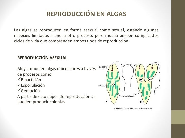 Protistas reproduccion asexual biparticion