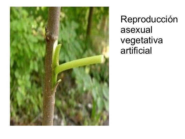 Reproduccion asexual por rizomas candidiasis