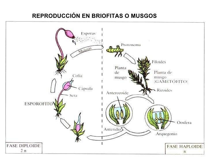 El musgo reproduccion asexual de las plantas