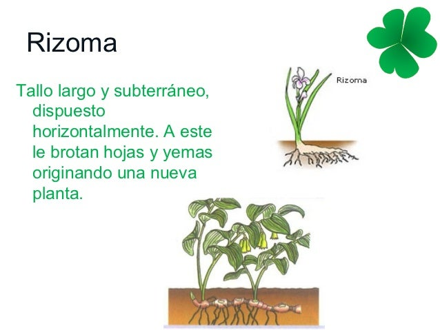 Reproduccion asexual en las plantas multiplicacion vegetativa