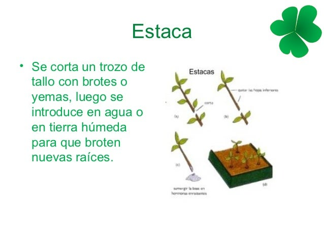 Reproducci n vegetativa for Planta ornamental que se reproduzca por esquejes