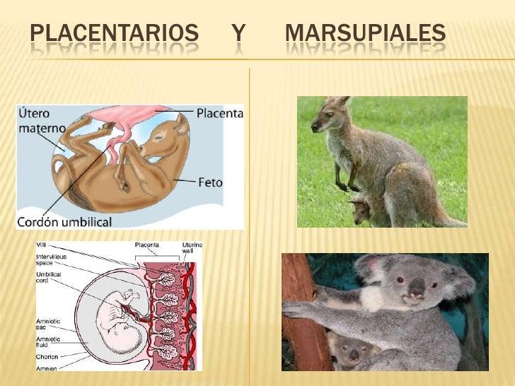 Marsupials reproduccion asexual en