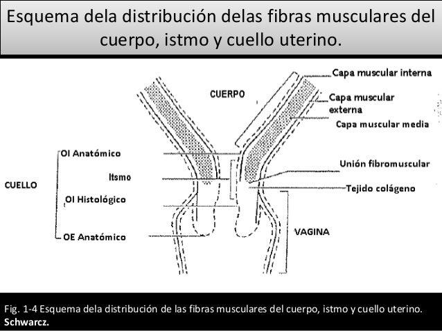 útero, trompas y cuello uterino (Fisiología de la reproducción)