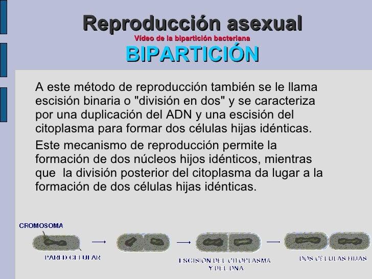 Ejemplos de escision reproduccion asexual biparticion