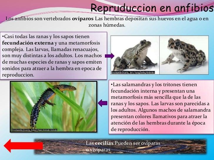 Sapos y ranas reproduccion asexual en