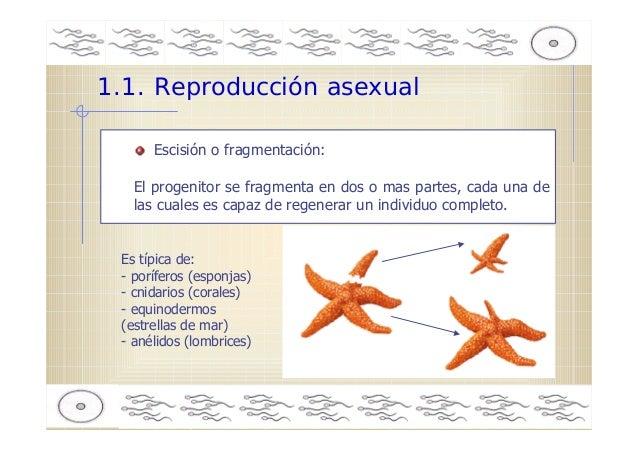 Poriferos esponjas reproduccion asexual en