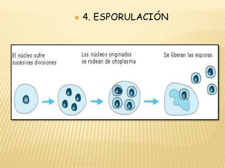 Esporulacion reproduccion asexual biparticion