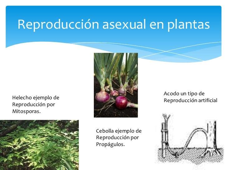 Reproduccion asexual de las plantas ejemplos de mapas