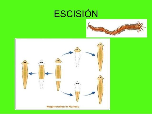 Reproduccion asexual escision psicologia