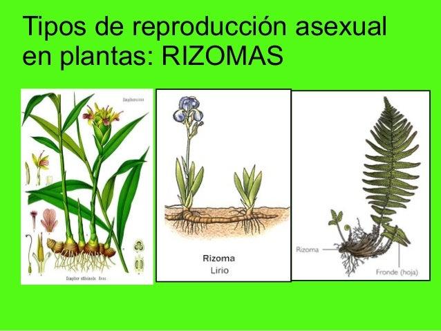 Reproduccion de las plantas asexual tuberculos