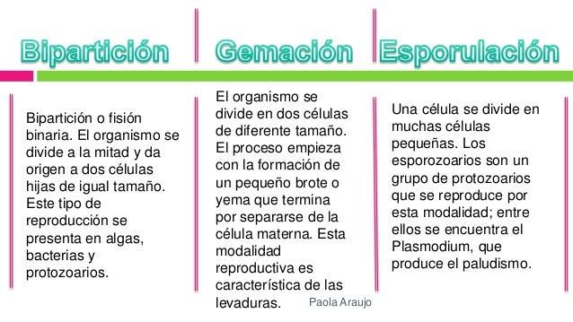 Que es la reproduccion asexual biparticion gemacion y esporulacion