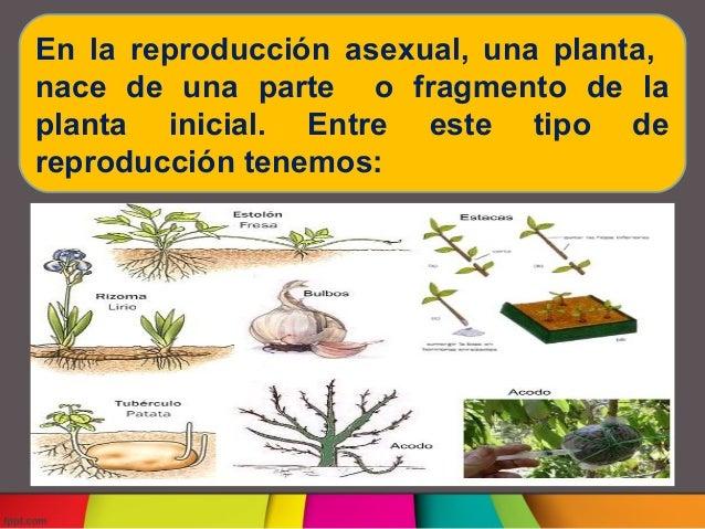 Reproduccion asexual plantas slideshare