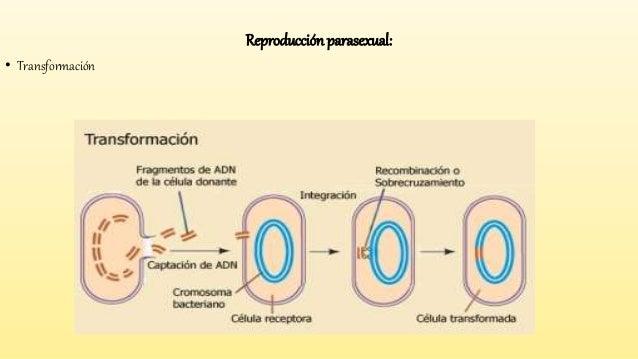 Reproduccion parasexual transformacion